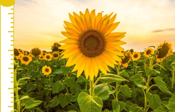 Sunflower thank you