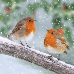 Snowy Robin Friends